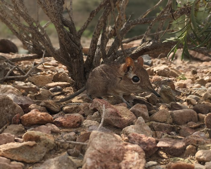 Found shrew! Long lost Somali elephant shrew rediscovered