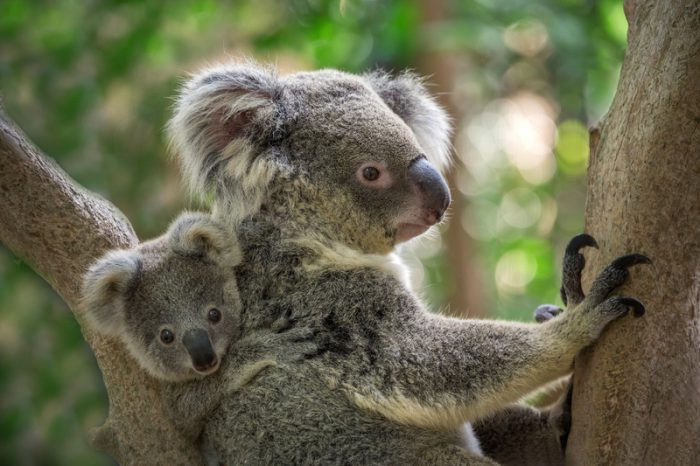 Baby koalas return hope to Australia's wildlife