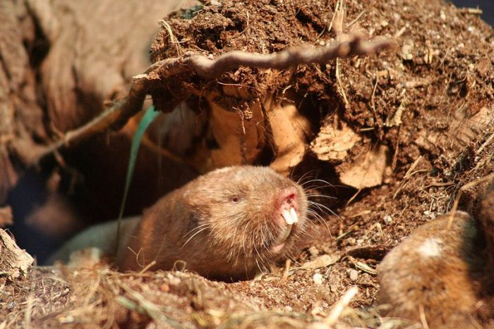 Nearly blind Ansell's mole-rats can see magnetic fields!