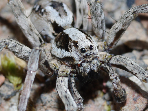 Large wolf spider found after being thought extinct in Britain