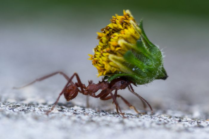 Leaf-cutter ants grow biomineral armour