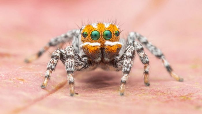 Meet the Nemo peacock spider