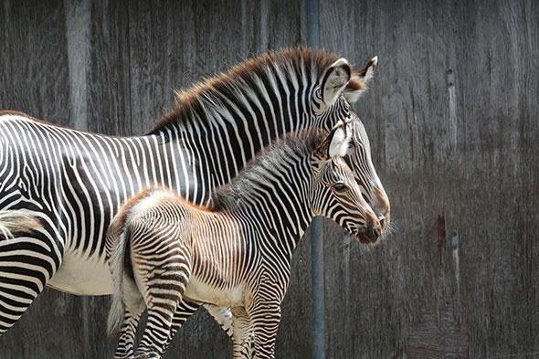 zebra filly mom