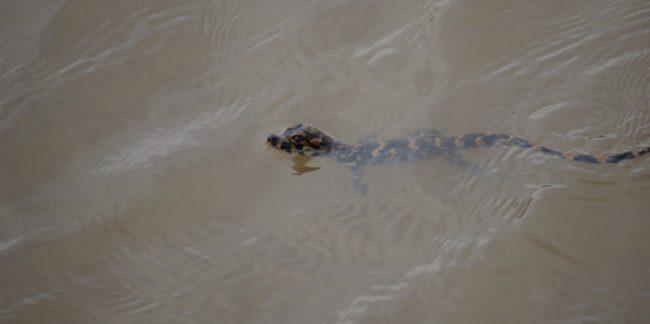 chinese alligator baby