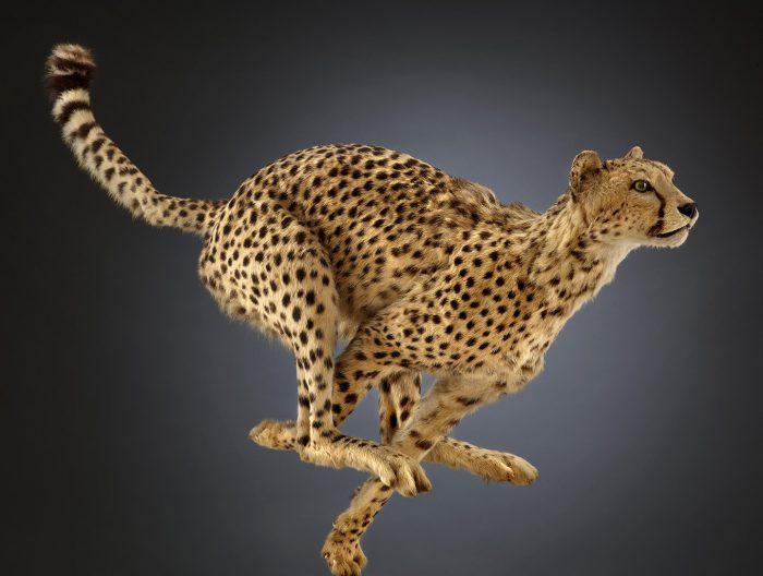 Biomechanics cheetah