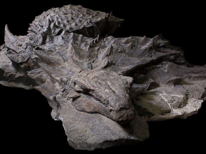 nodosaurus dinosaur mummy3
