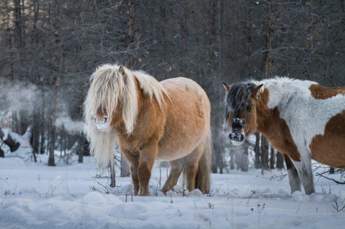 Siberian ancient horse
