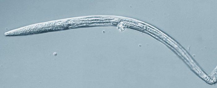 roundworm permafrost_1024