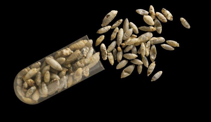 pupae fossils parasitoid wasps
