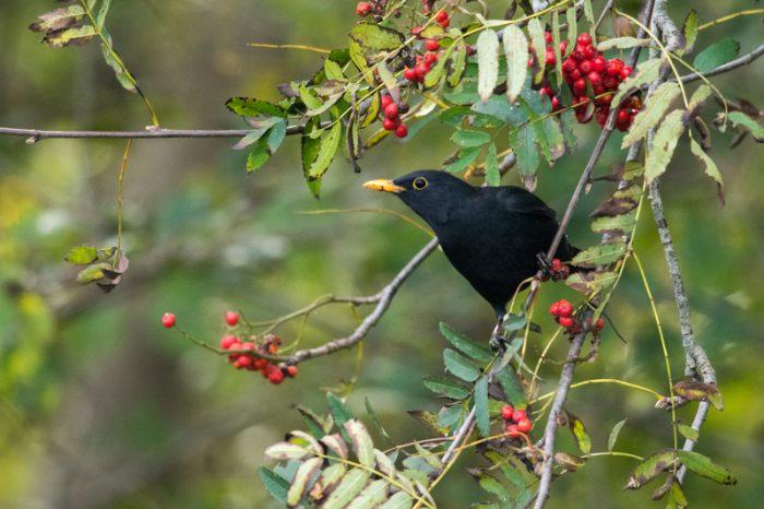 blackbird mi'kmaq