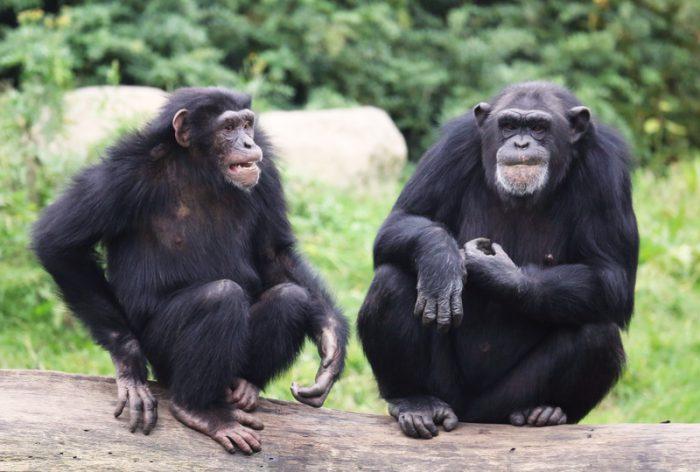 great apes bond