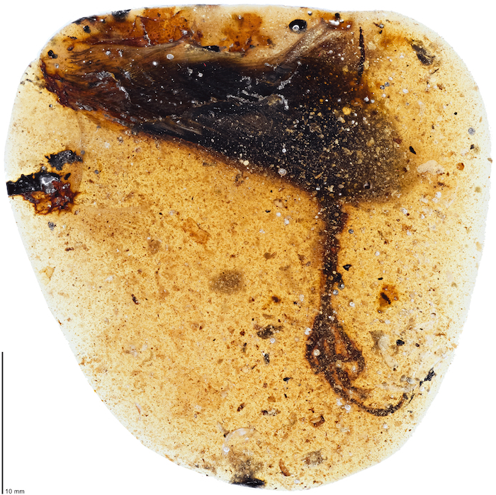 elektorornis amber fossil