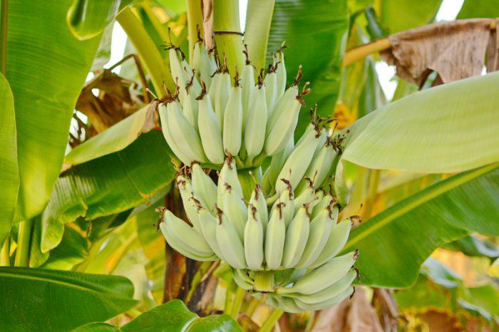 banana-killing fungus