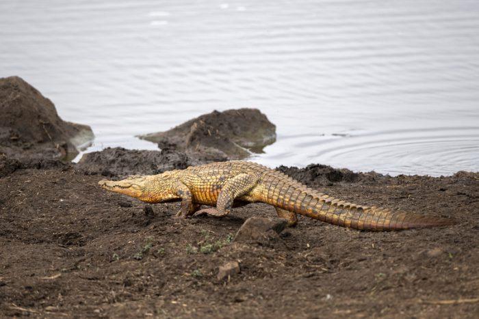galloping crocodile