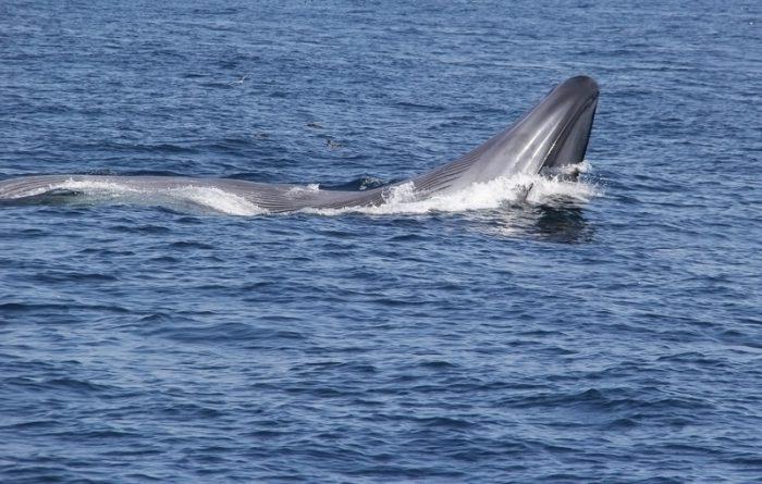 blue whale's heart