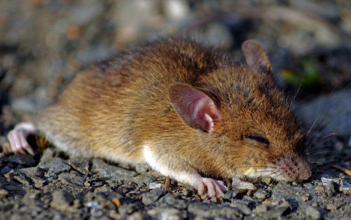 mouse torpor