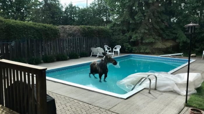 Moose on the loose stays cool in a pool!