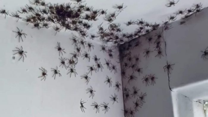 Baby huntsman spiders invade Australian home