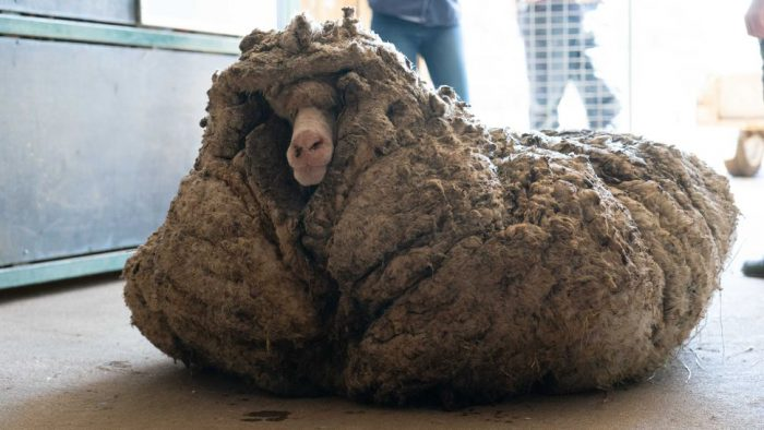 In one day, 'Baarack' the sheep lost 80 pounds ... of wool
