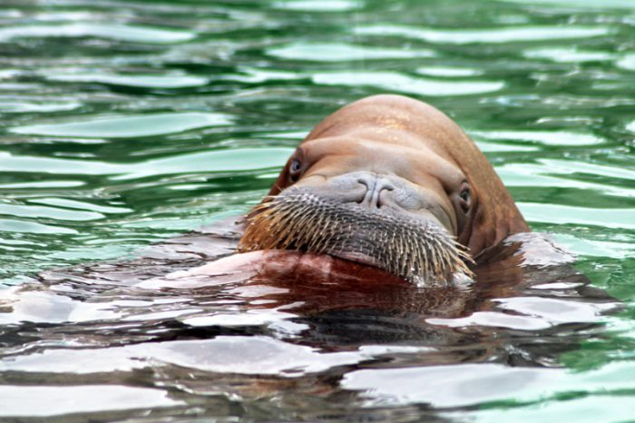 Walrus wakes up in Ireland