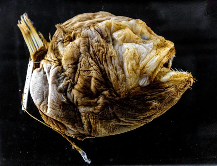 Watch rare footage of a deep sea anglerfish