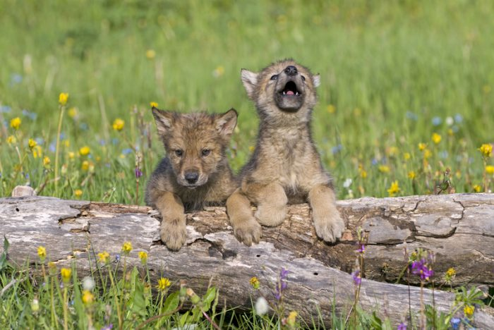 Watch these wolf cubs show off their howling skills