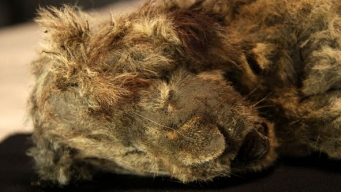 Sparta is a 28,000 year-old cave lion cub